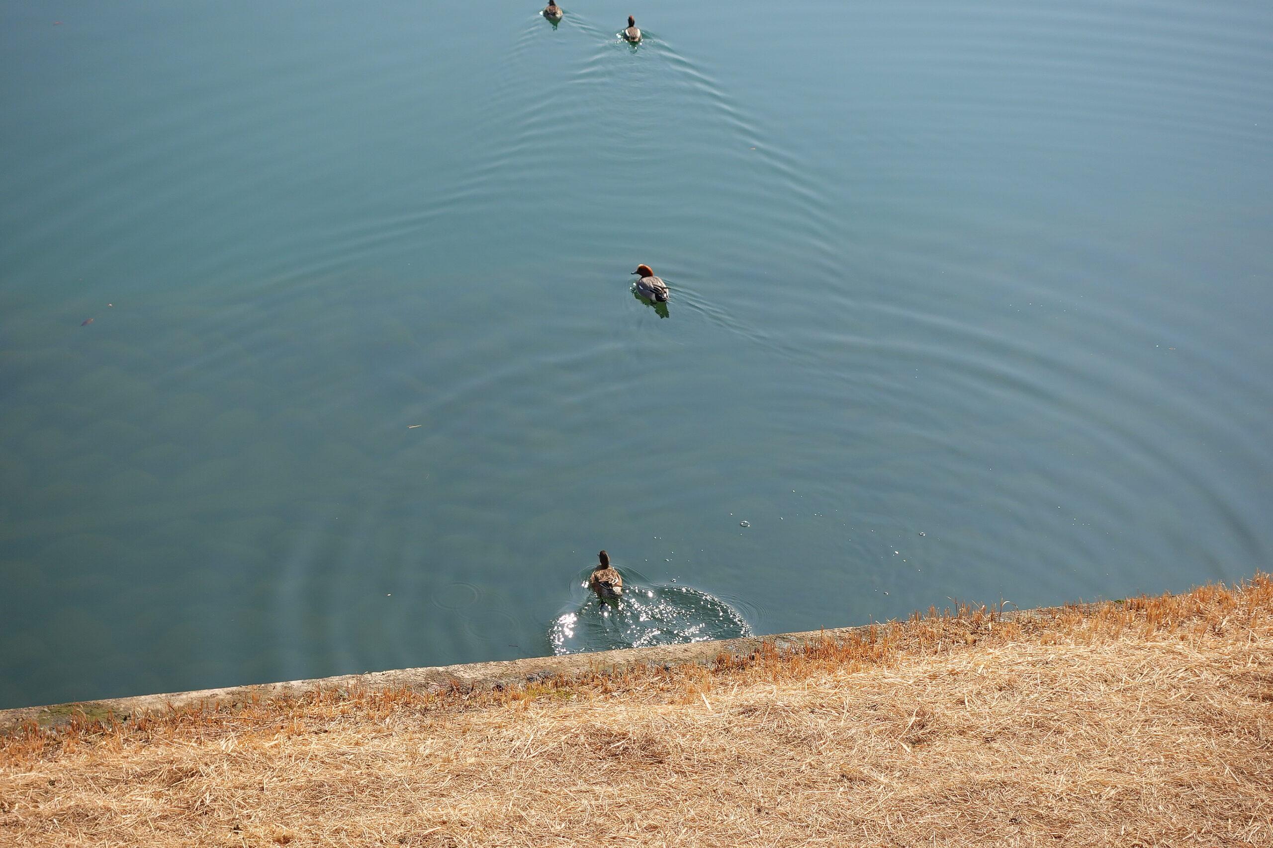 木曽川の鴨